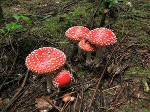 Ядовитые грибы в сосновом лесу
