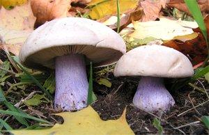 Где растет и когда собирать гриб синеножку