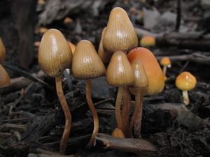 Псилоцибиновый гриб