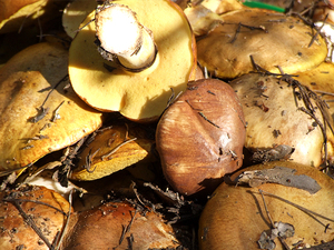 Вкусный гриб масленок. Как мариновать его правильно