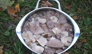 Как готовить грибы рядовки