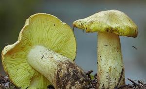 Гриб зеленушка- фото и описание, как отличить от двойников, рецепты приготовления